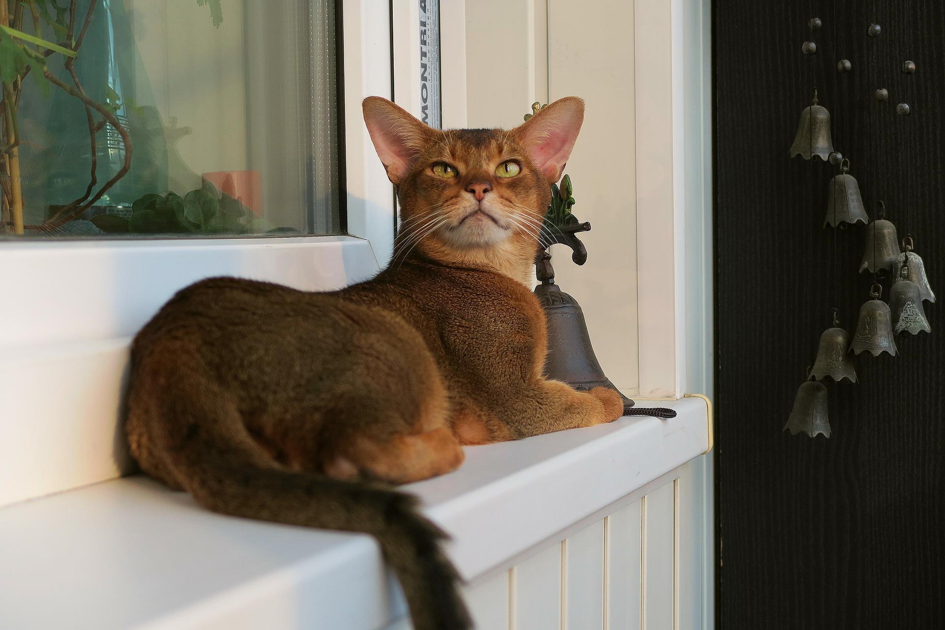 アビシニアン - Cat Scanner