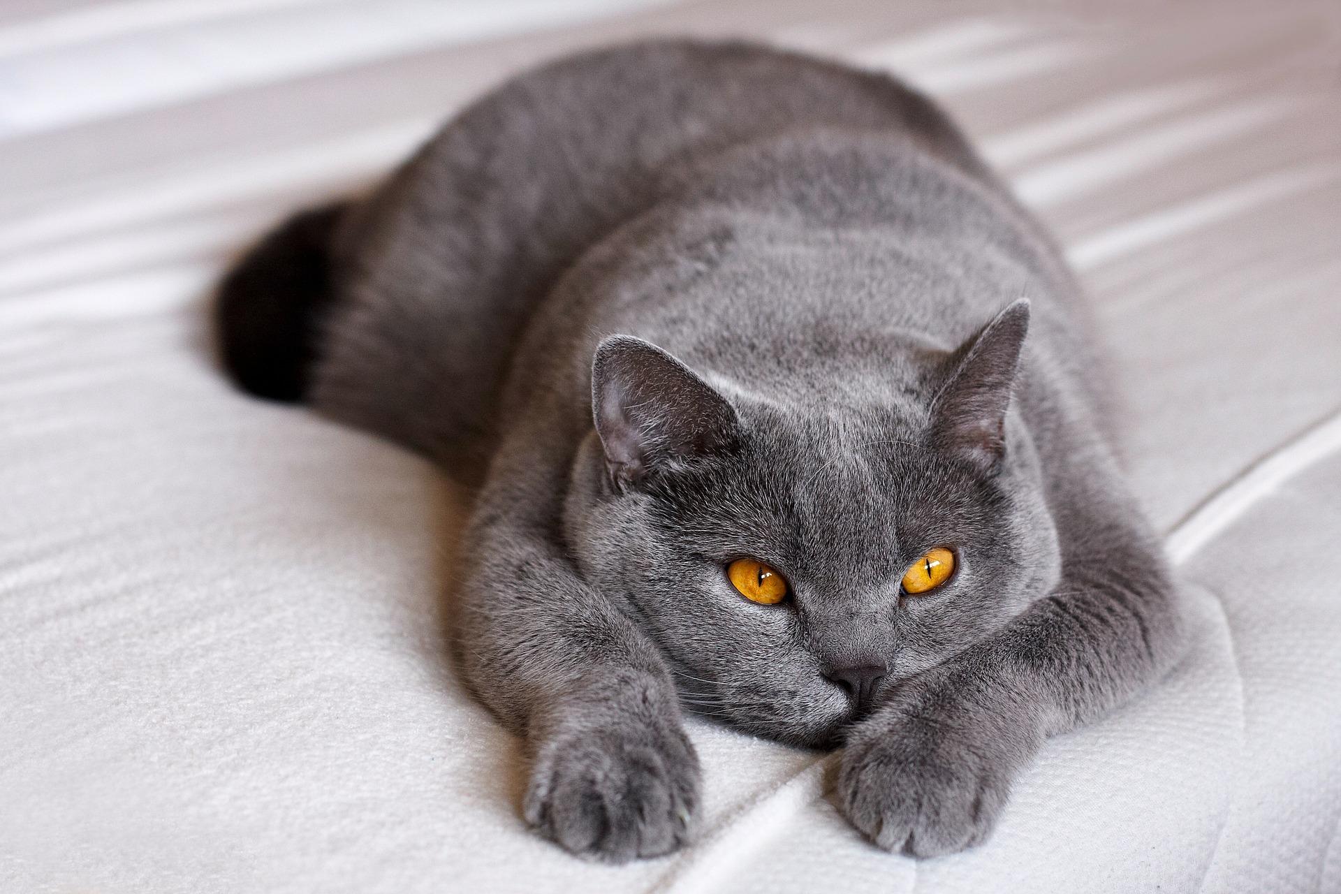 ブリティッシュショートヘア - Cat Scanner