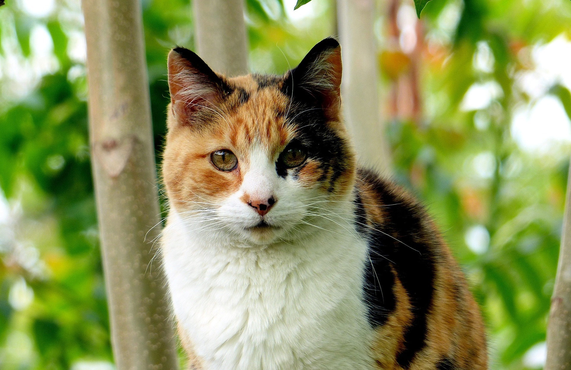 Calico Cat - Cat Scanner