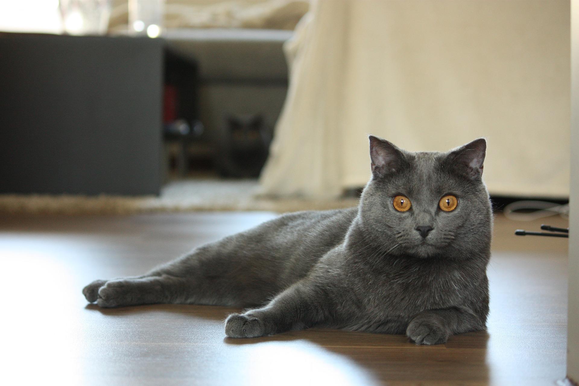 Chartreux - Cat Scanner