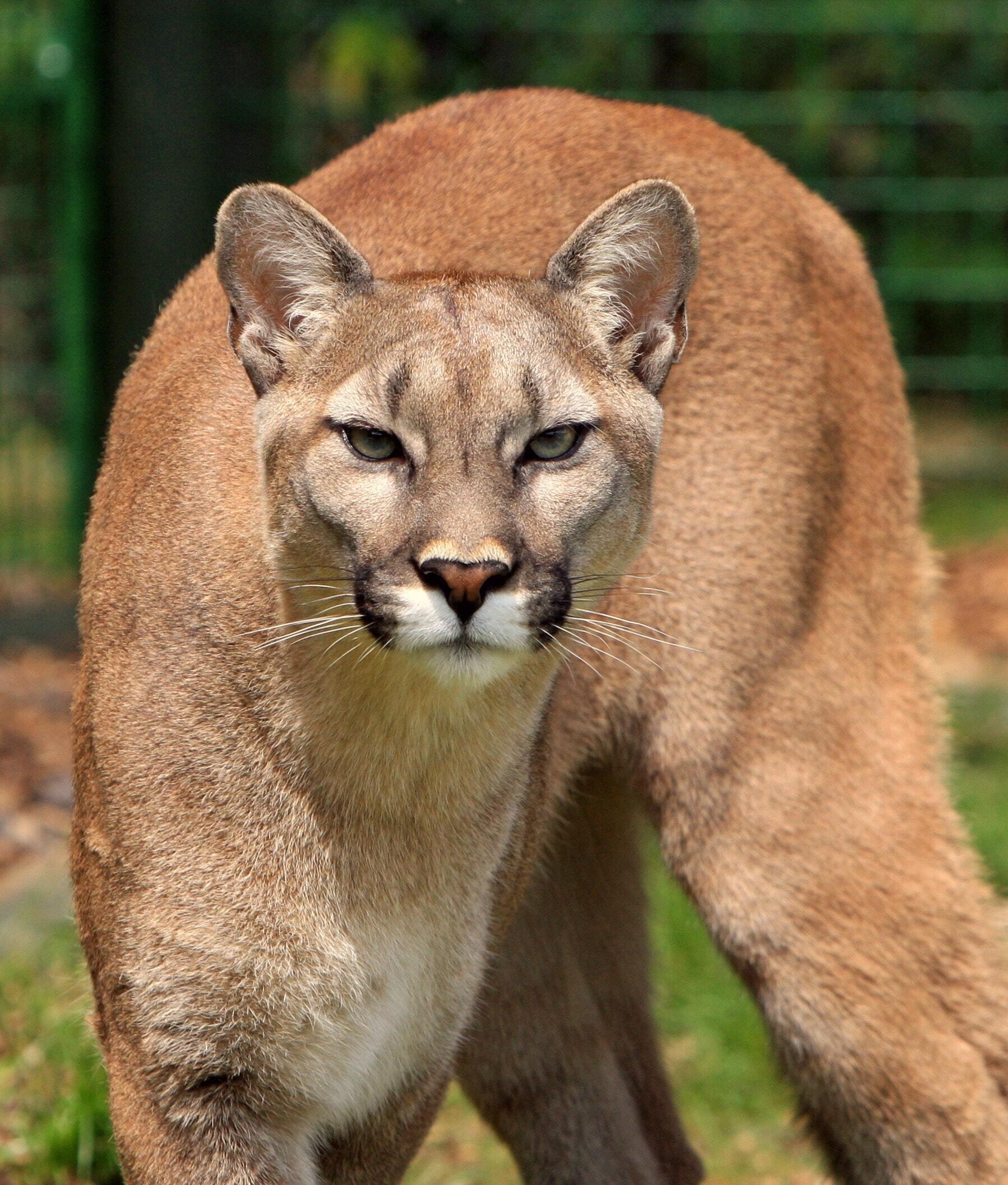 Puma concolor - Cat Scanner