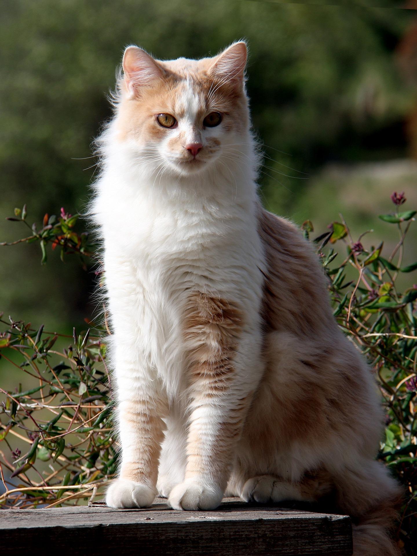 Angorakatze - Cat Scanner