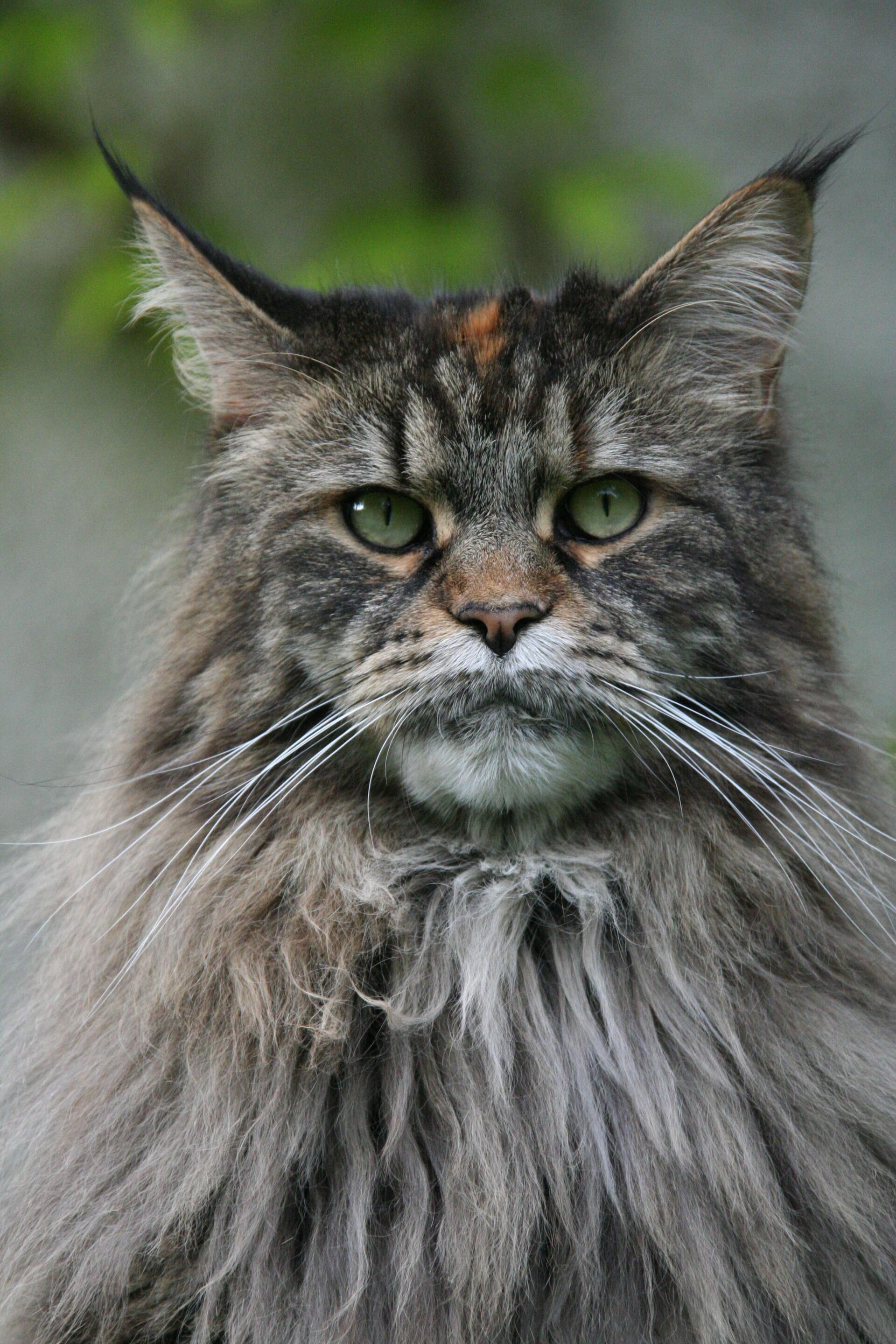 Maine coon - Cat Scanner