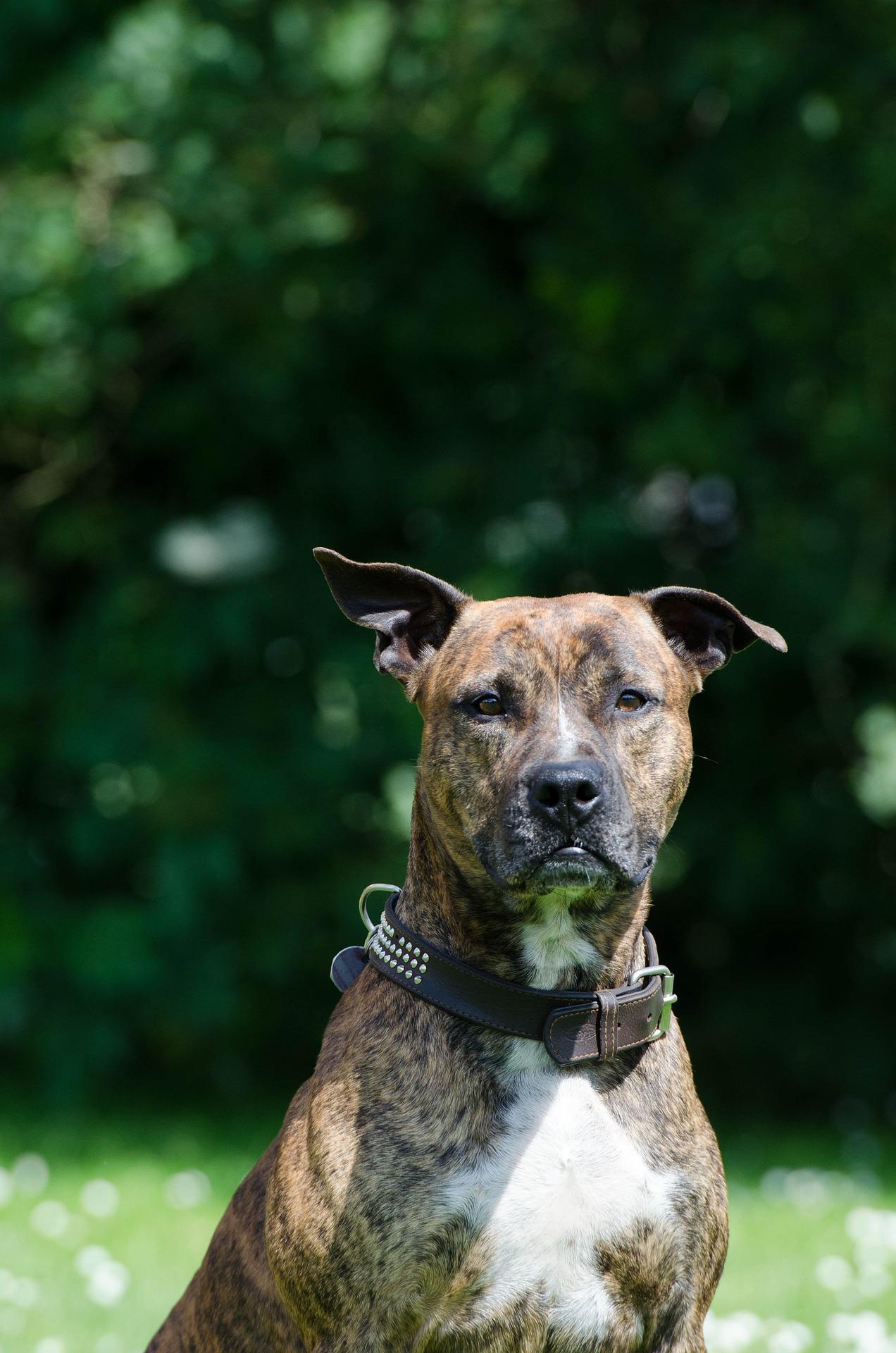 Amerikaanse staffordshireterriër - Dog Scanner