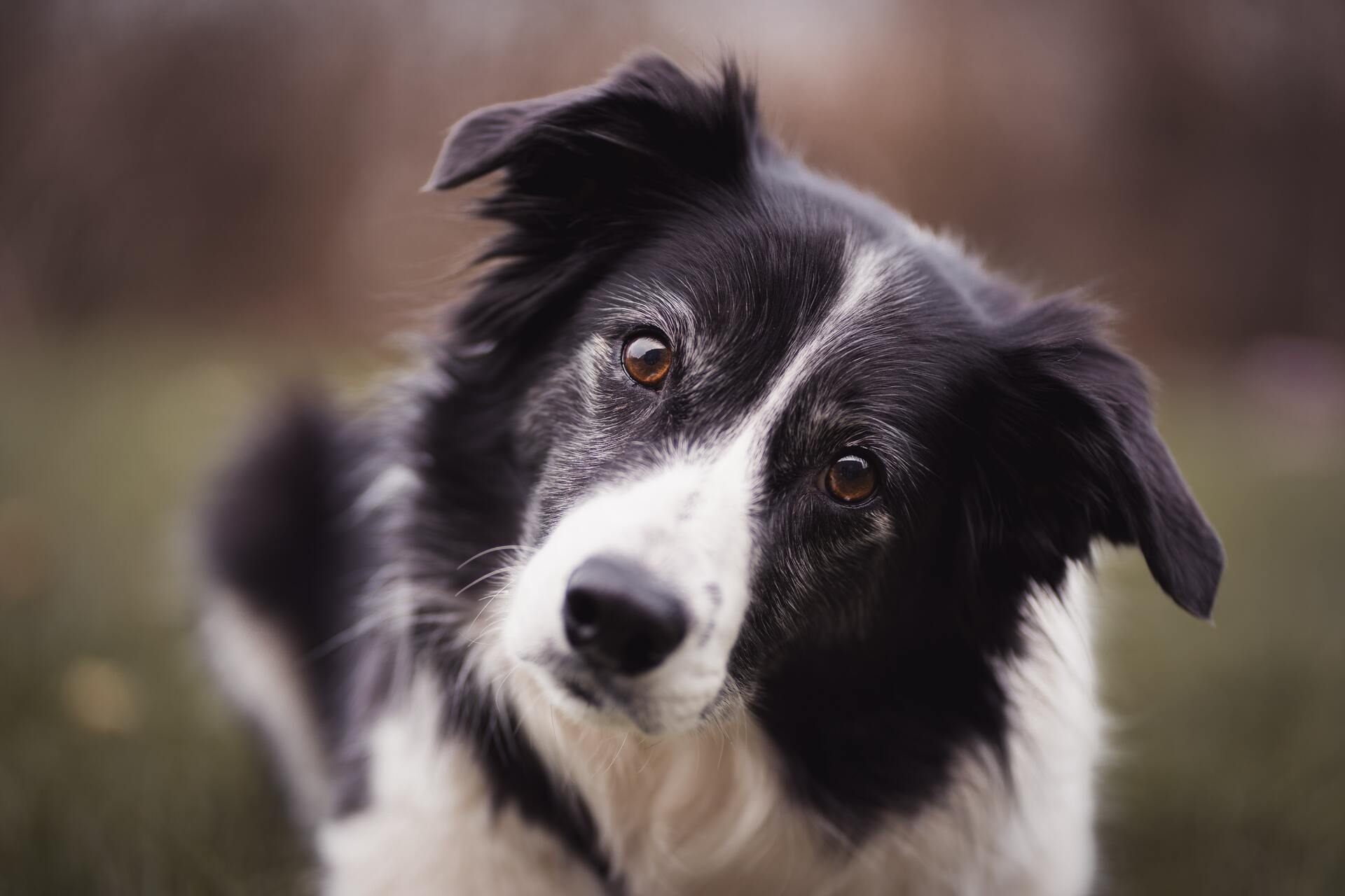 Border collie - Dog Scanner