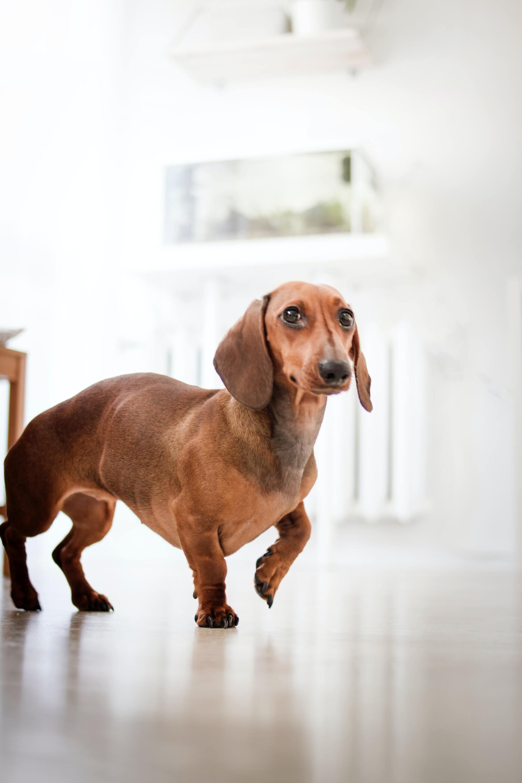 腊肠犬 - 狗狗鉴定器