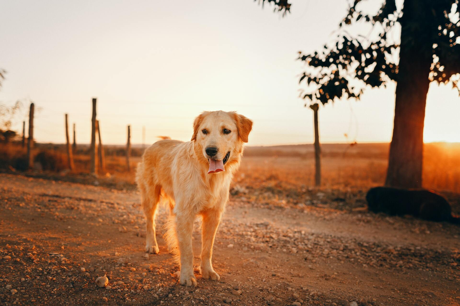 Golden retriever - Dog Scanner