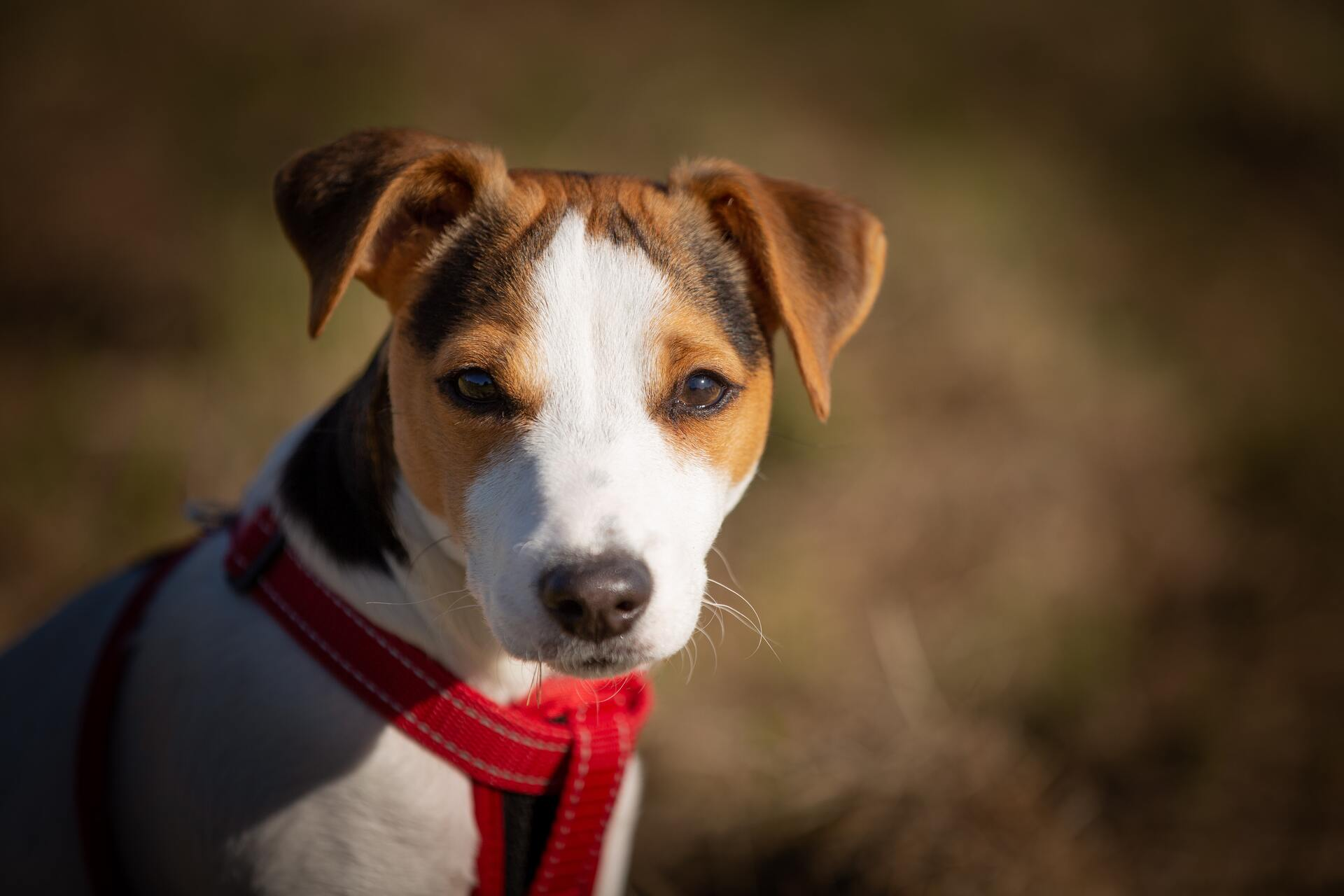 Jack russell terrier - Dog Scanner