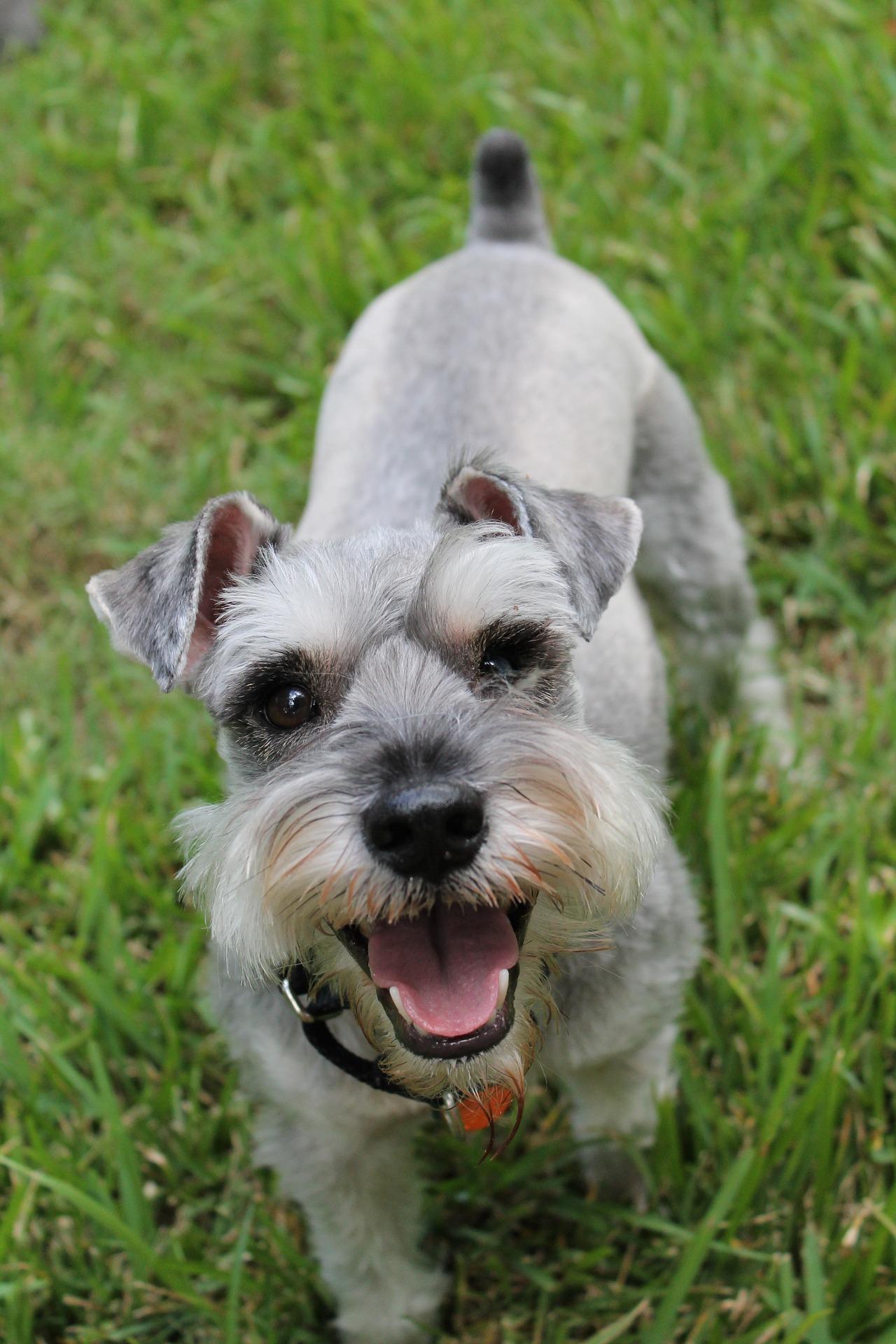 Schnauzer miniatura - Dog Scanner