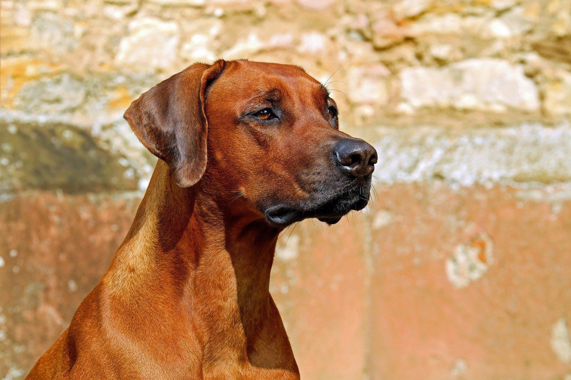 Rhodesian ridgeback - Dog Scanner