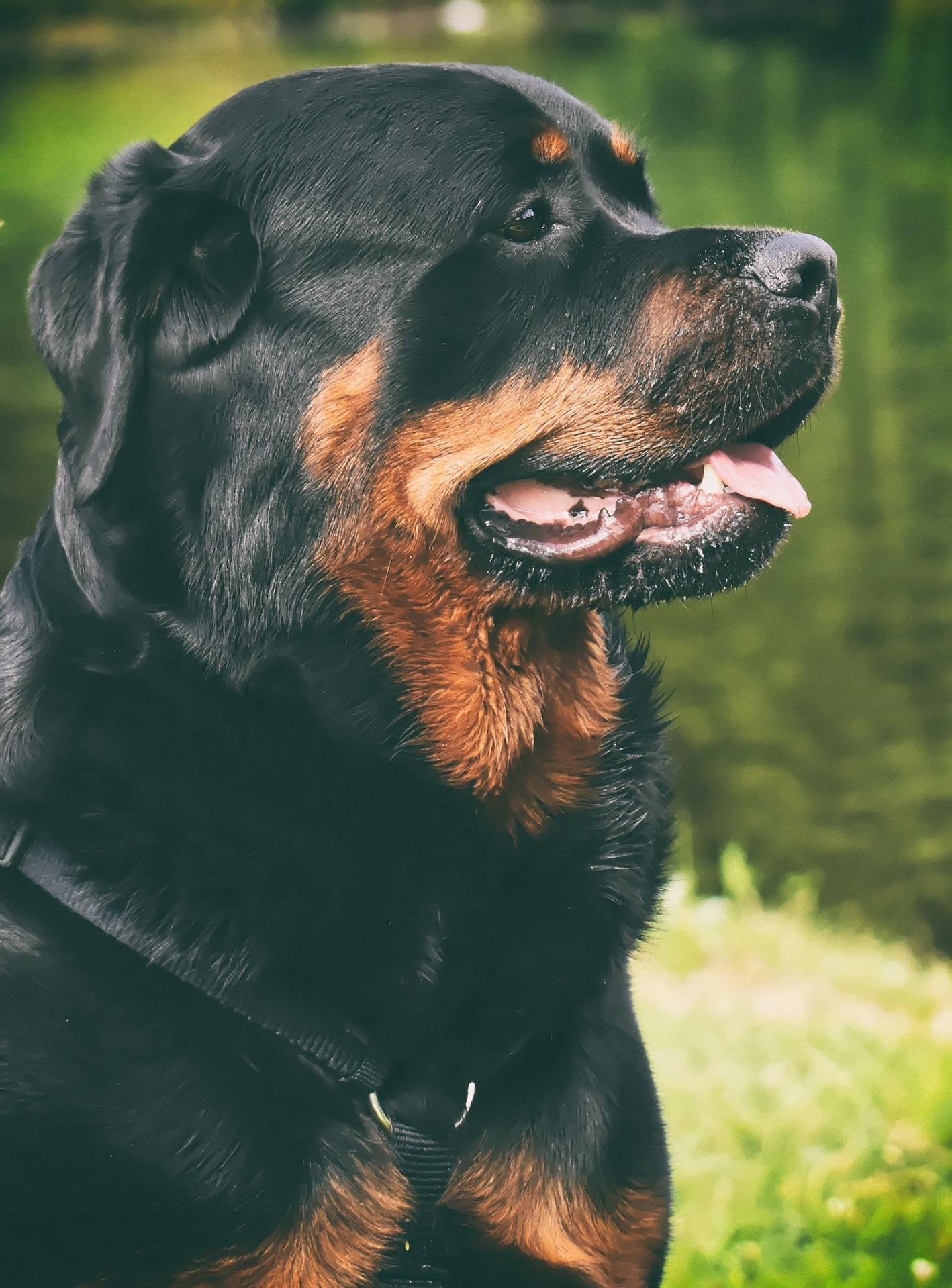 ロットワイラー - Dog Scanner