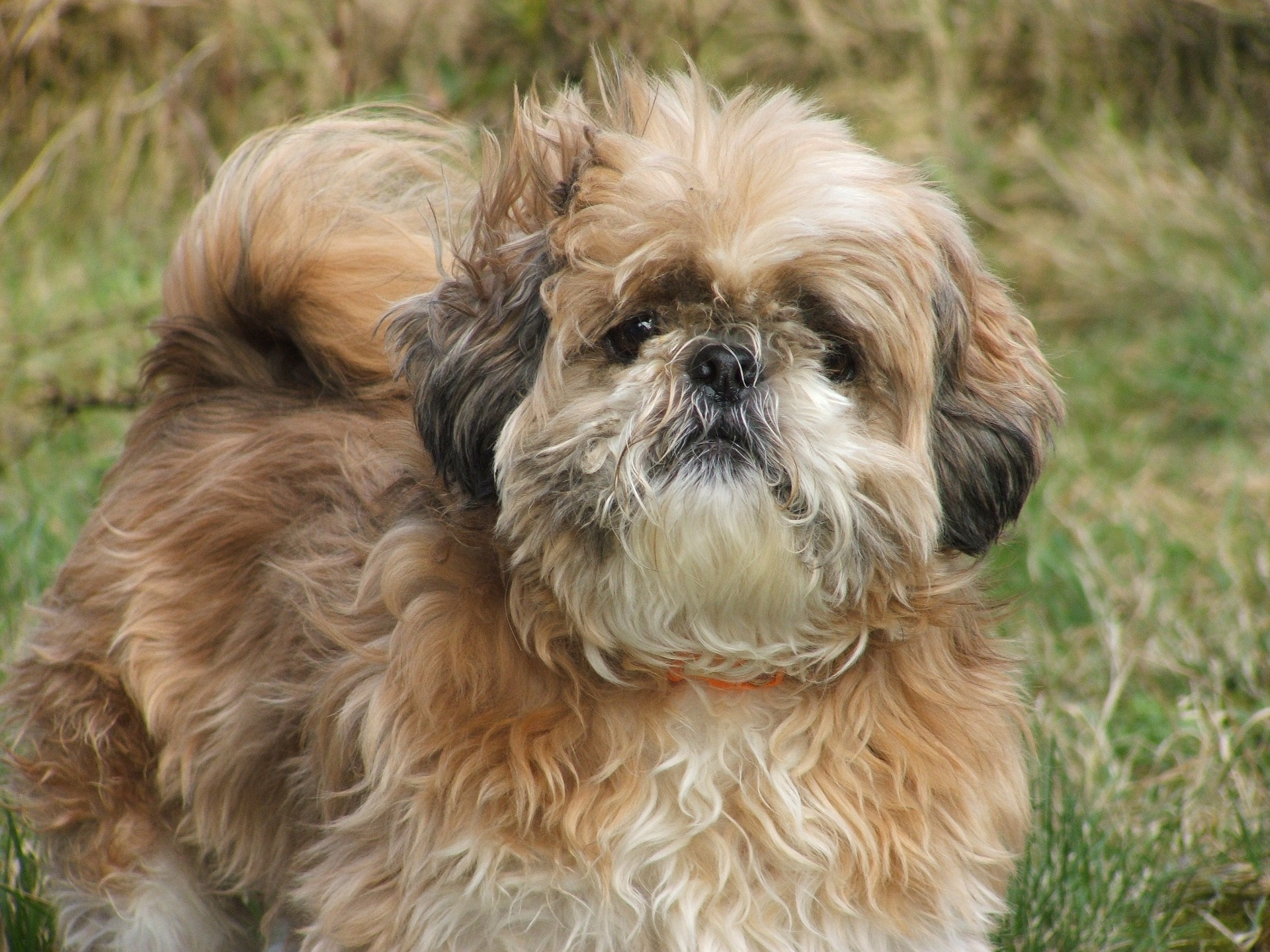 Shih tzu - Dog Scanner