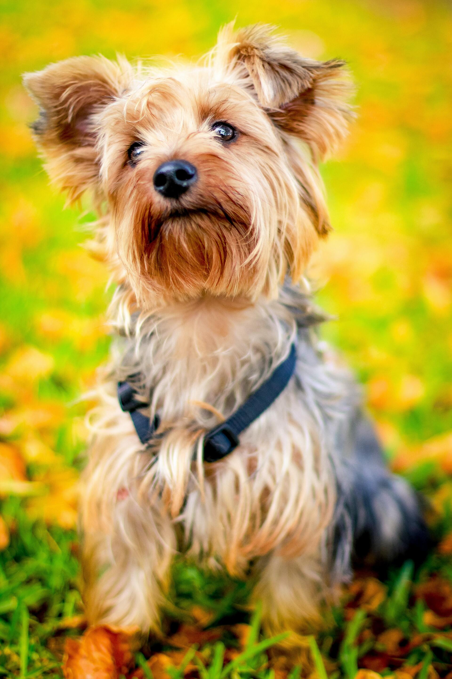 Yorkshire Terrier - Dog Scanner